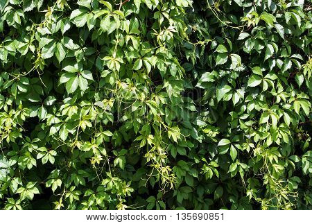 Green wild grapes leaves wall background in summer