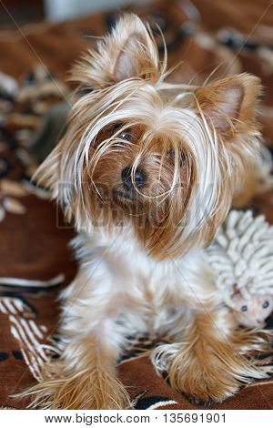 Beautiful puppy lying on a fluffy rug. Yorkshire Terrier.