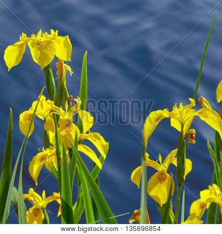 iris pseudacorus - yellow flag - yellow iris - water flag. Tisza (Tisa) river in the background in Hungary.