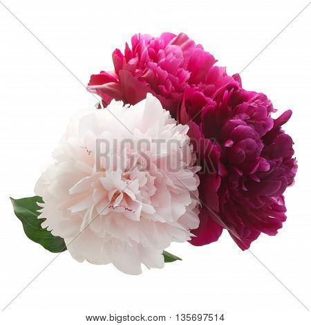 Pink and purple peony bunch isolated on white background
