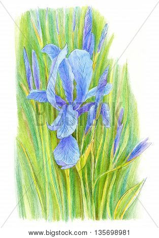Iris flower hand drawn with colored pencils on white paper