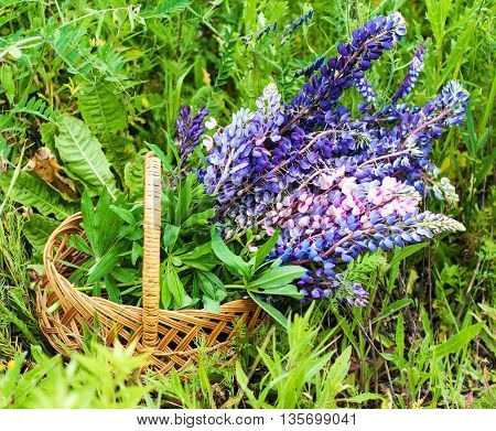 Basket With Lupine Flowers
