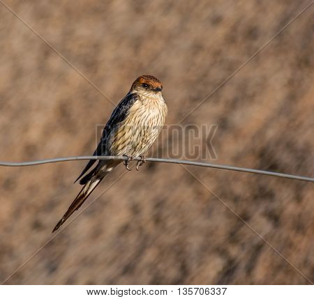 A Greater Striped Swallow perches on a wire fence in Southern Africa