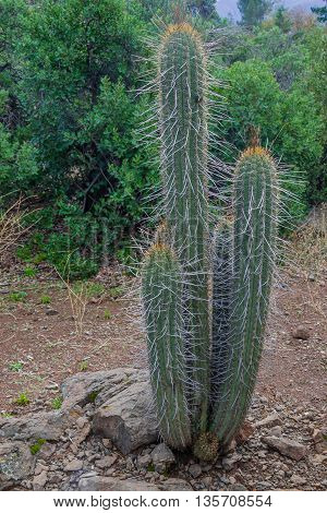 Cactus At San Alfonso Valley, Trail In The  Mountain