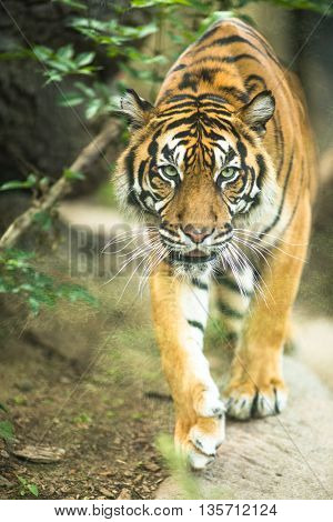 Closeup of a Siberian tiger also know as Amur tiger (Panthera tigris altaica), the largest living cat