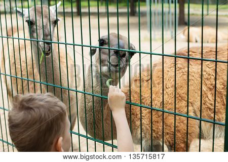 Child Feeds Two Llamas At Pet Zoo.