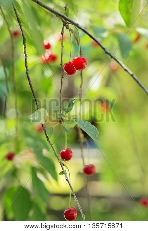 Ripening Cherries On A Tree In The Garden On The Farm