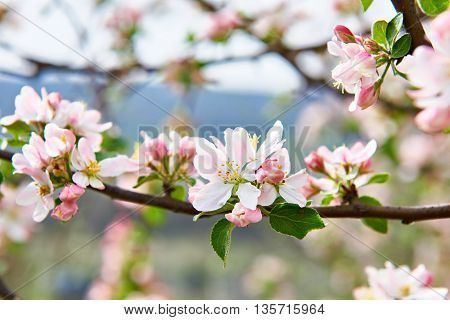 The apple blossom in the spring close-up