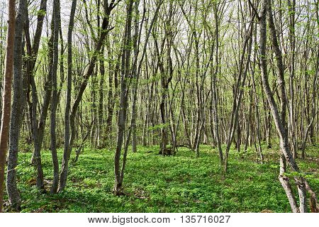 The beech forest in the summer day