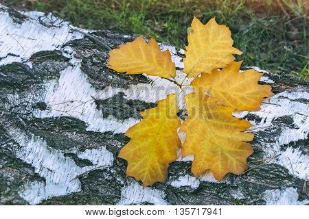 On the sawn trunk of the white birch are yellow fallen leaves of oak.