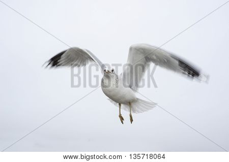 Intent gull hovers in position ready to move quickly