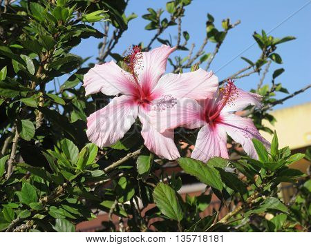 White And Pink Hibiscus Flowers In Full Bloom 01