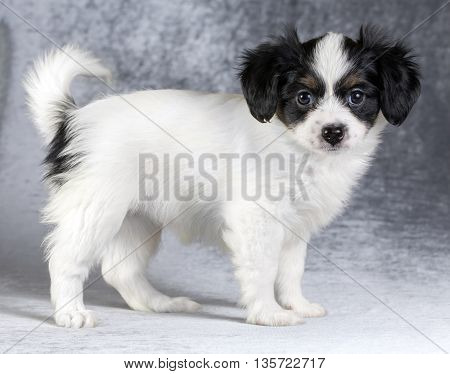 Cute puppy of the Continental Toy spaniel - Phalene -on a gray background