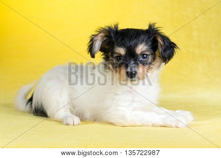 Cute puppy of the Continental Toy spaniel on a yellow background