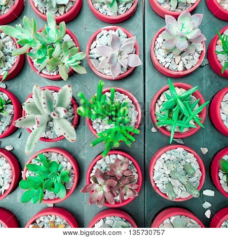 small various green cactus and succulent plant in rose  red color flower pot such as Mammillaria, opuntia, desert flora, canada kate, rosettes, Hatiora salicornioides, Coryphantha. top view - flat lay - Color tone.