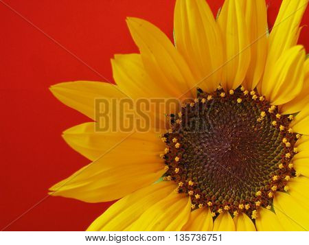 sunflower on red background