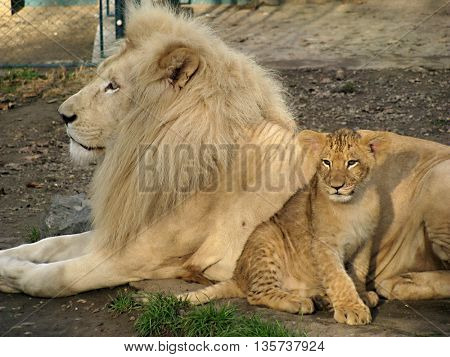Beautiful daddy lion and baby lion