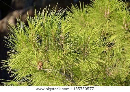 Green needles on branches of coniferous tree