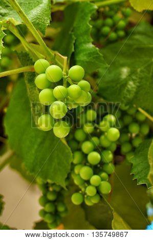 Fresh Green grapes on vine. Summer sun lights