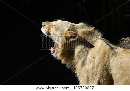 Portrait of beautiful,proud white lion