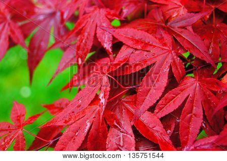 close up of wet red leaf