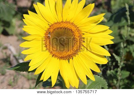Yellow sunflower with bee close up flower