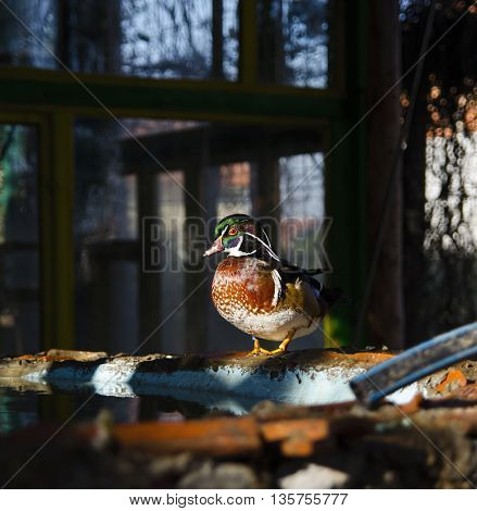 Male Wood Duck, Duck on Water, Carolina Duck, Bird, Duck,