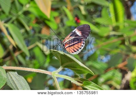 Tiny Red Cattle Heart Butterfly Amazonian Rainforest South America