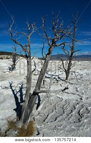 Dead trees in Yellowstone, Wyoming  Mammoth Hot Springs