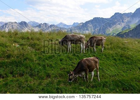 Cows on a mountain meadow in the bavarien Alps