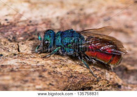 Ruby-tailed wasp (Chrysis sp.) in profile. Cuckoo wasp in family Chrysididae with bright metallic blue and red markings also known as emerald wasps