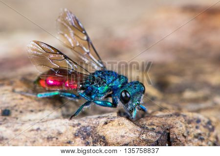 Ruby-tailed wasp (Chrysis sp.). Cuckoo wasp in family Chrysididae with bright metallic blue and red markings also known as emerald wasps