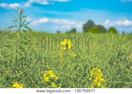 Bumble bee on a flower of canola in Germany