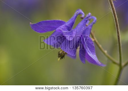 One flower of Common Columbine (Aquilegia vulgaris) flowering in a Nature Garden