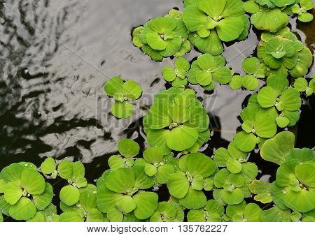 green floating plant on water in garden background
