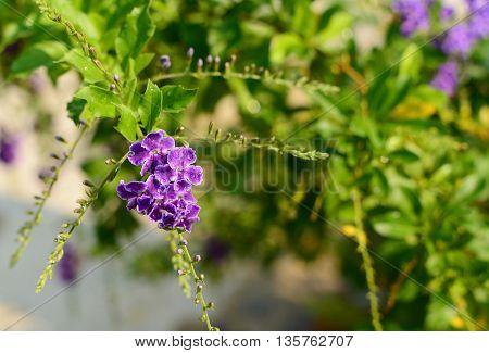 violet flower of pigeon berry in garden