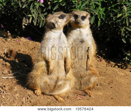 A photo of two meerkats