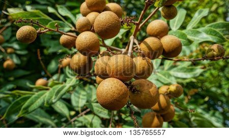Longan orchards - Bunch of tropical fruits hanging on tree