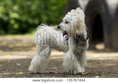 the dog breed maltese bichon is playing