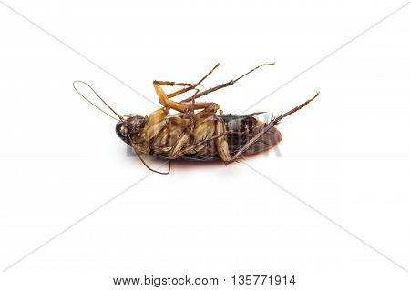 Dead Cockroaches Lying Flat Isolated On White Background.