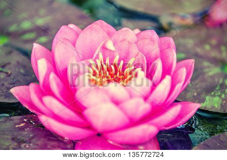 Close up of a purple lotus in a lake