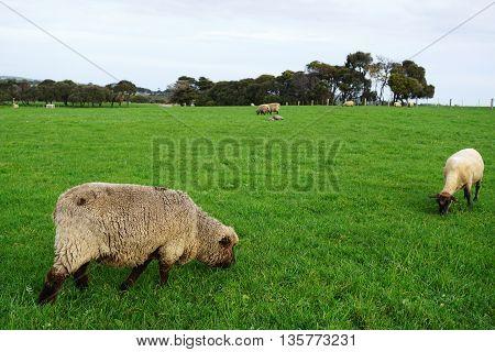 Sheep Grazing On Green Grass Field