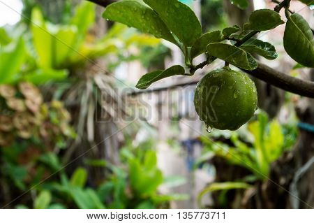 Lemon Trees And Green Lemon, Water Droplets On A Leaf.
