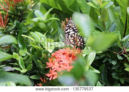 Tropical Insect of butterfly perched on a treetop in public park to find the nectar from and pollen.