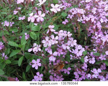 Flowering rock soapwort, Saponaria ocymoides, in garden