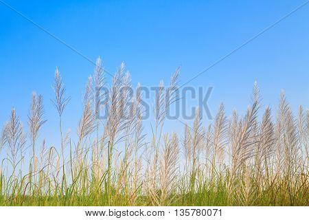 Reed Grass Flower