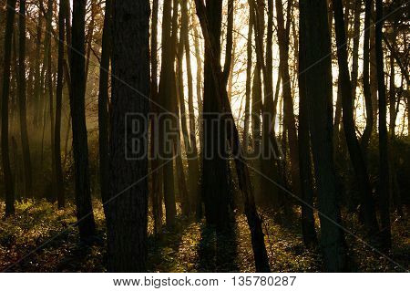 Sunlight peeking through various tall dark trees in forest with shrubs and mossy ground area