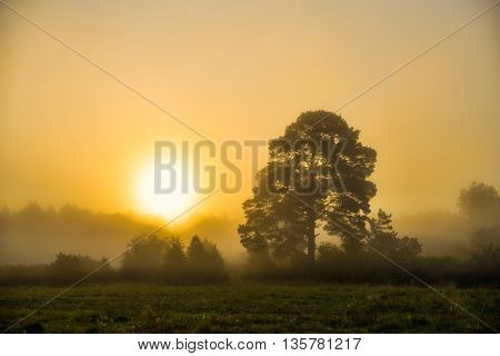 Trees in a fog in meadow in summer morning
