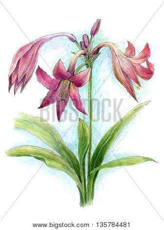 Watercolor flower of lily on white paper
