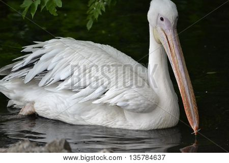 Pelican floating on the pond at the bow stuck a small white feather